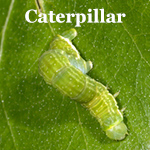wintermoth caterpillar