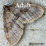 adult winter moth
