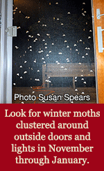 winter moths clustered around screendoor